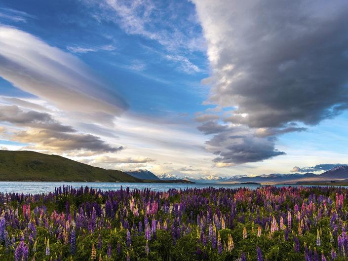 Flowering Lupins at Lake Tekapo